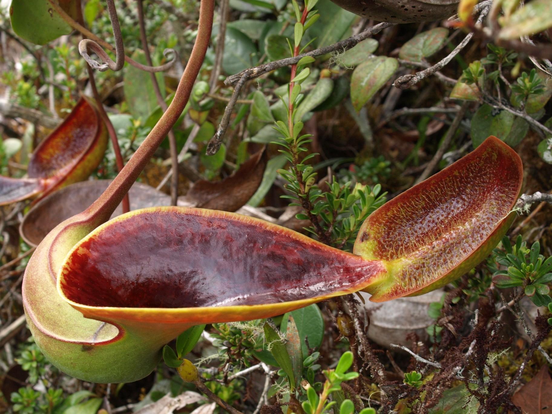 Nepenthes Tenax Widescreen