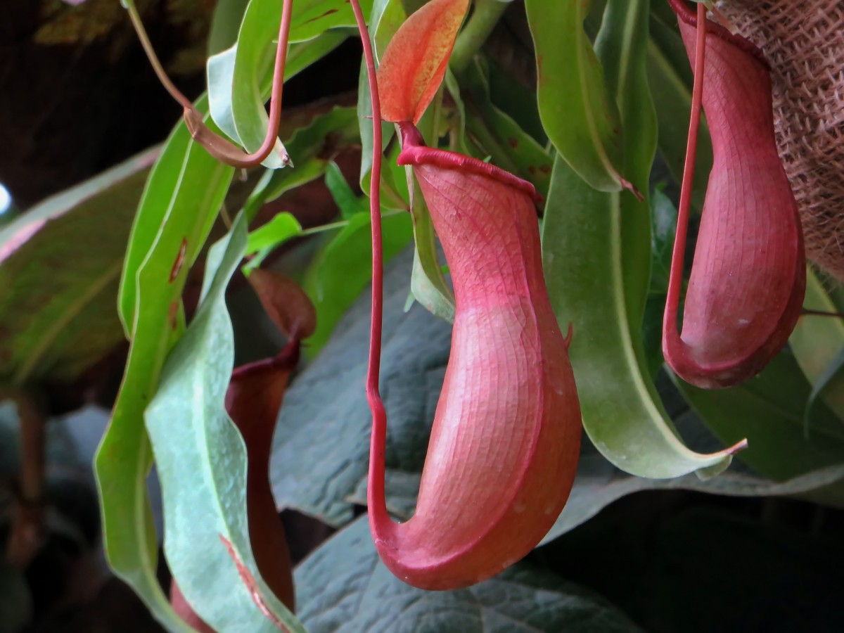Nepenthes Tenax Full HD