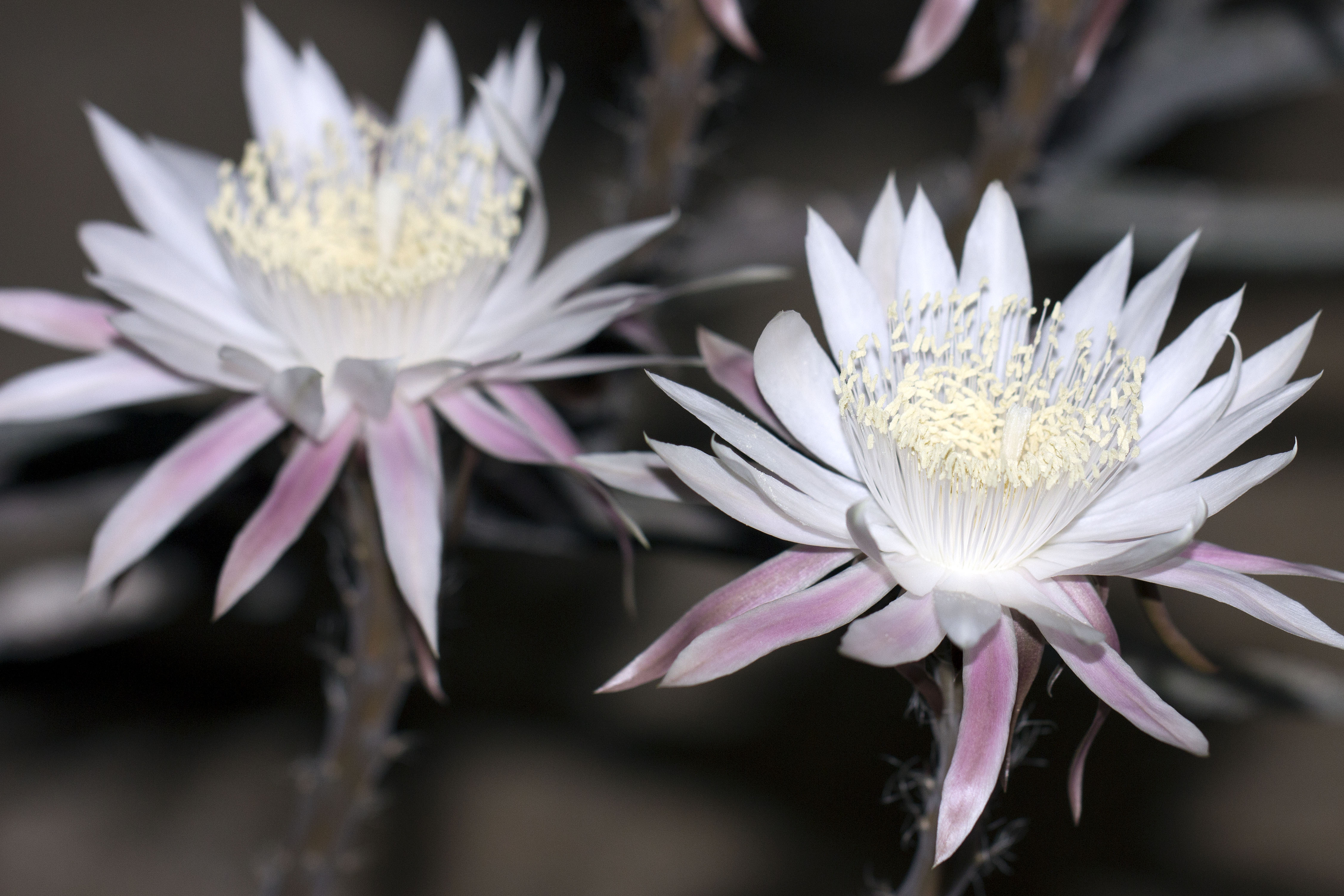 Night Blooming Cereus Computer Backgrounds