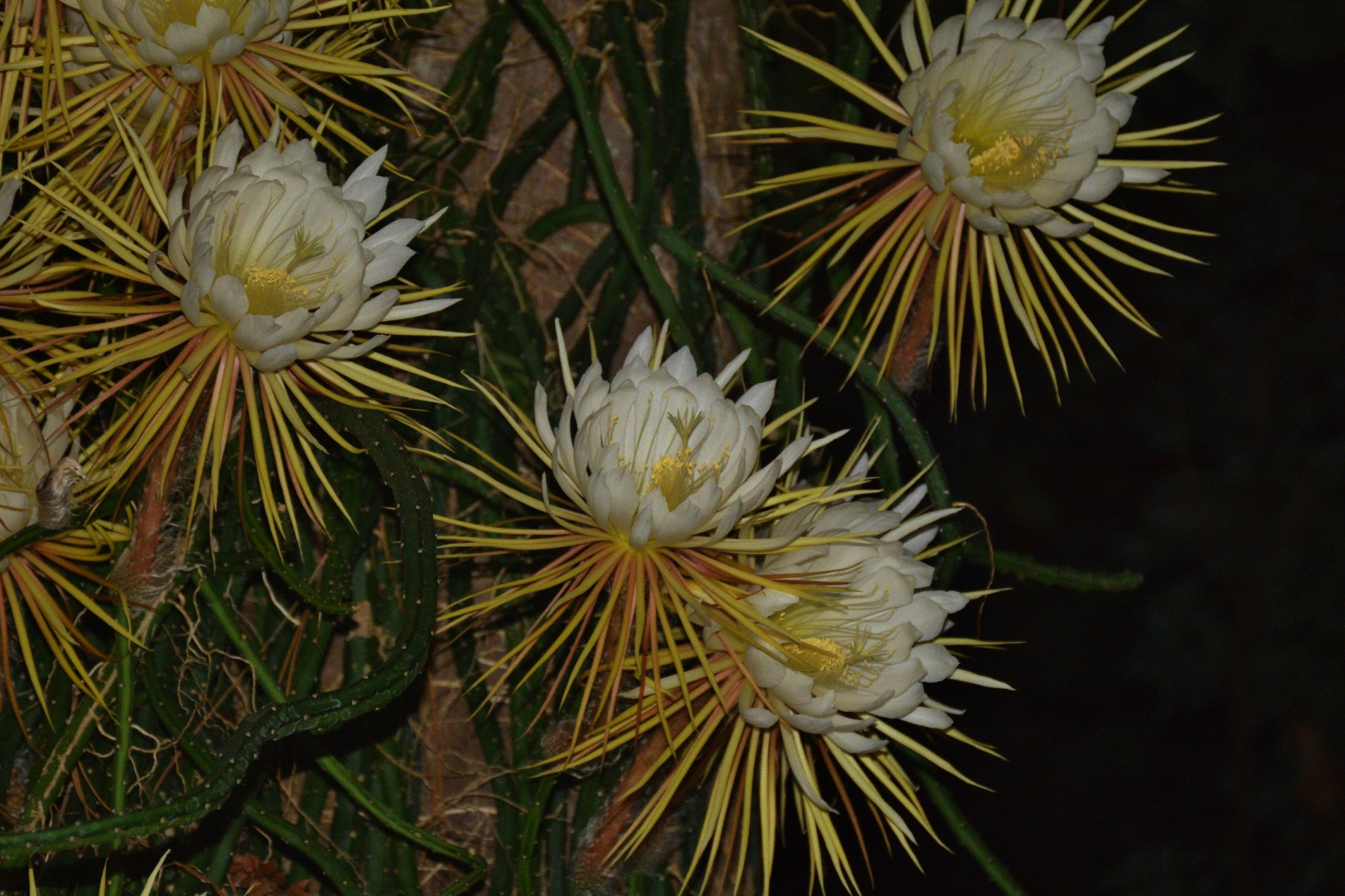 Night Blooming Cereus Wallpapers HD