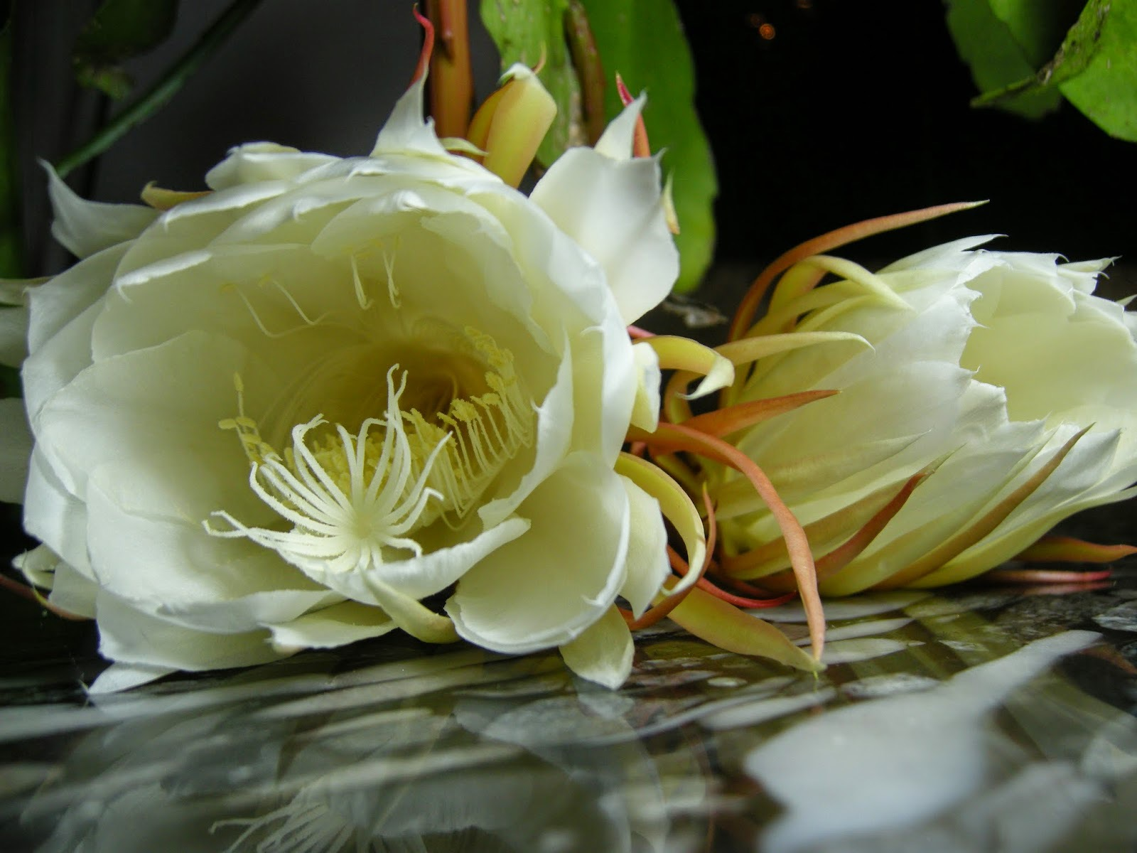 Night Blooming Cereus Wallpapers