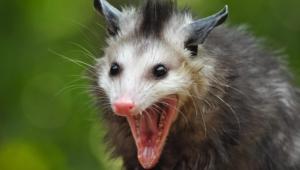 Opossum Desktop For Iphone