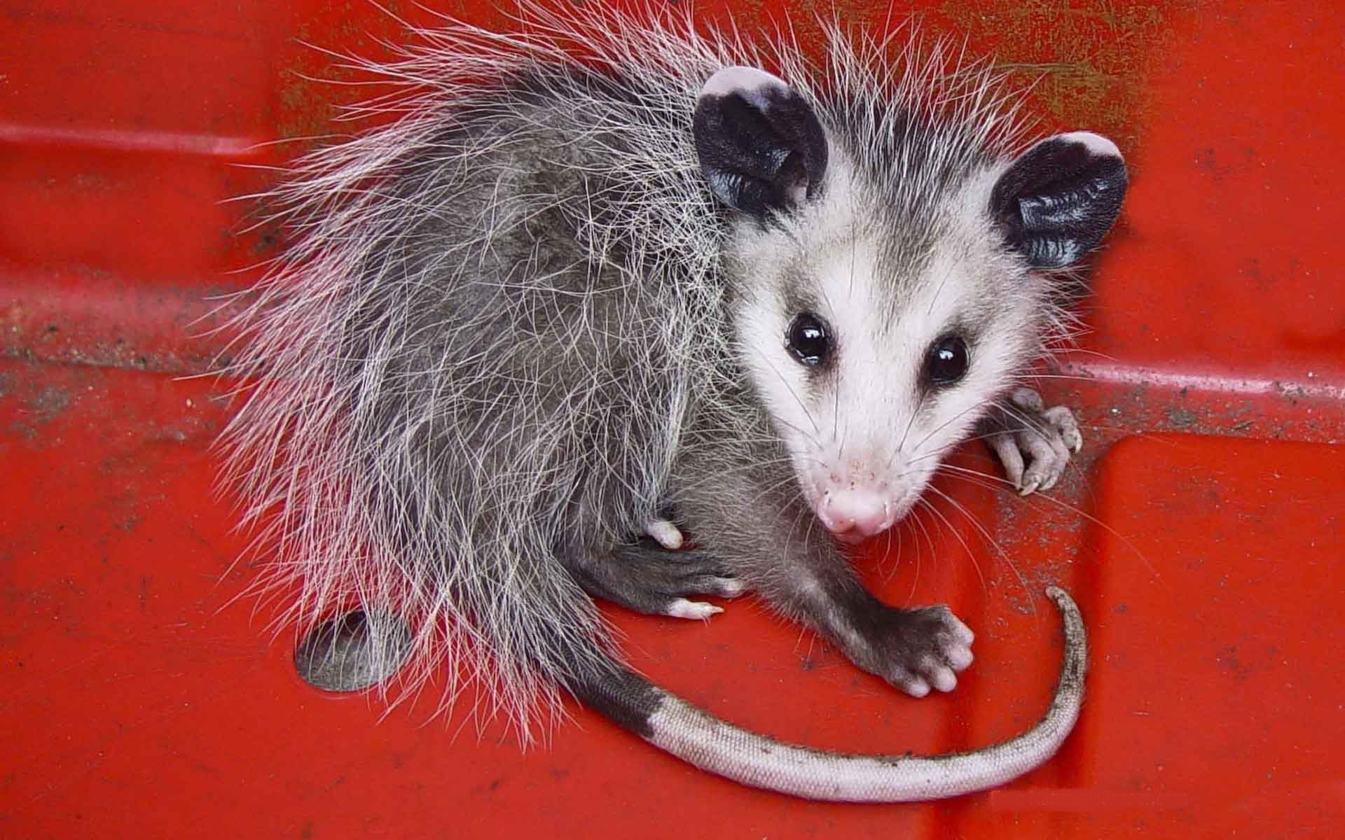 Opossum HD Iphone