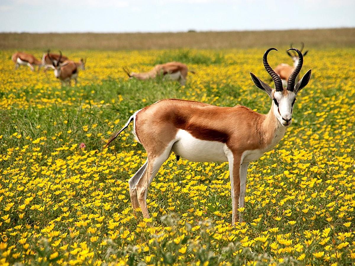 Pictures Of Antelope