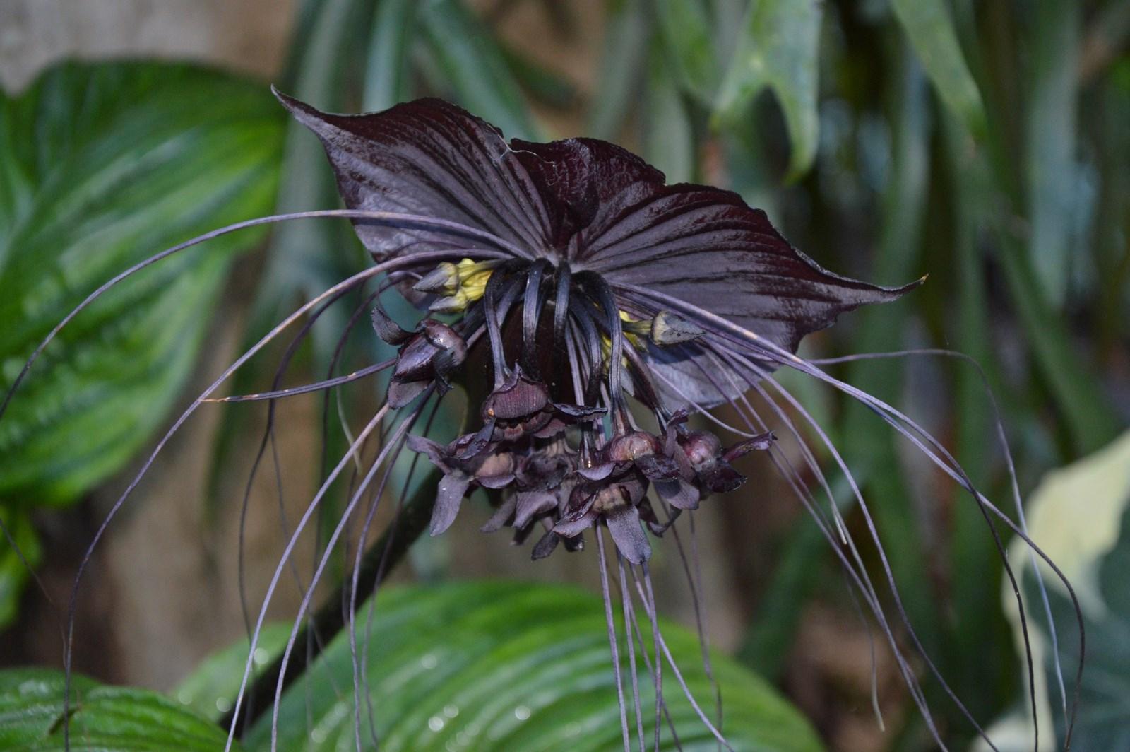 Pictures Of Black Bat Flower