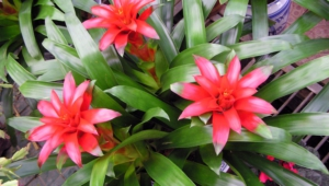 Pictures Of Bromelia