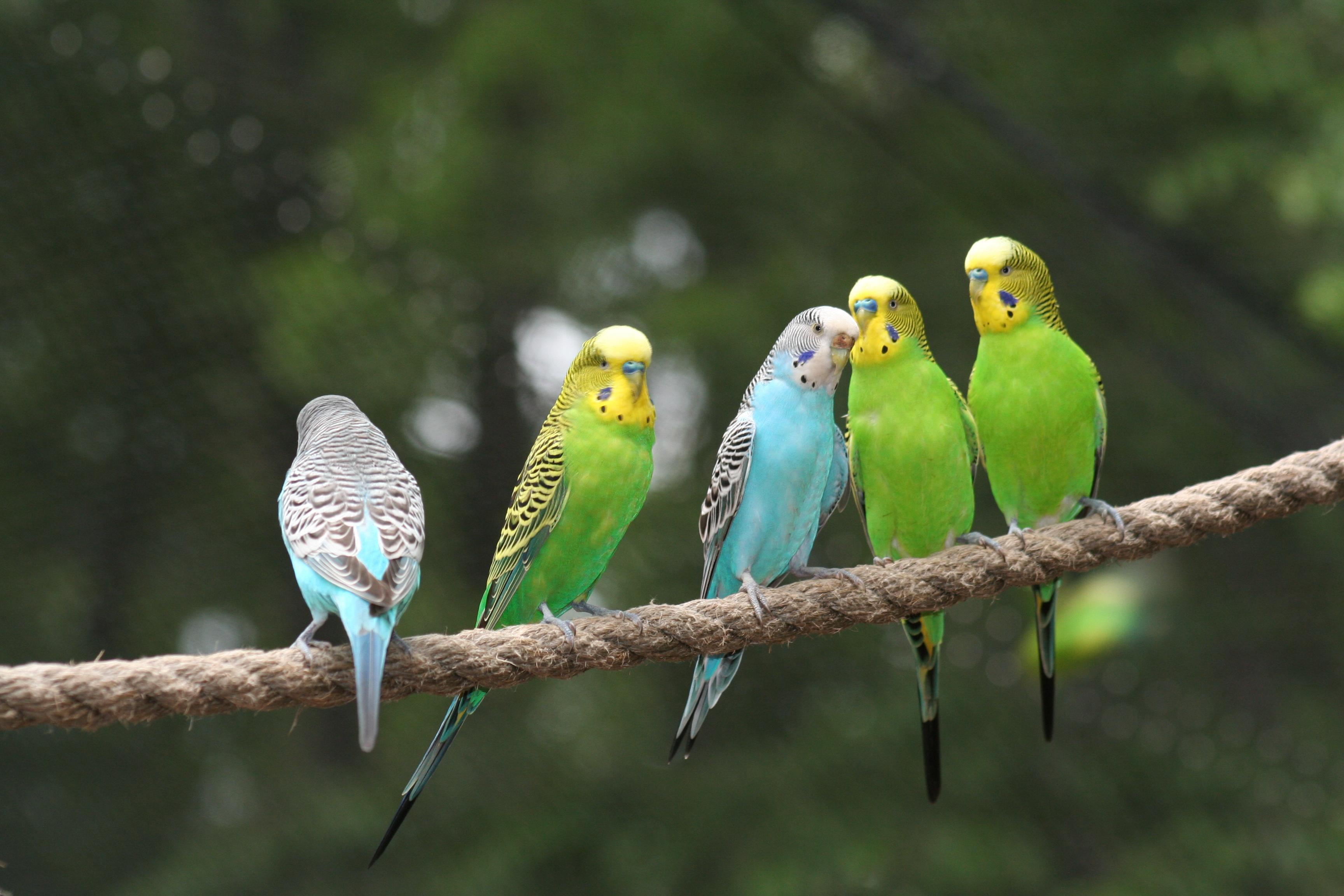 Pictures Of Budgie