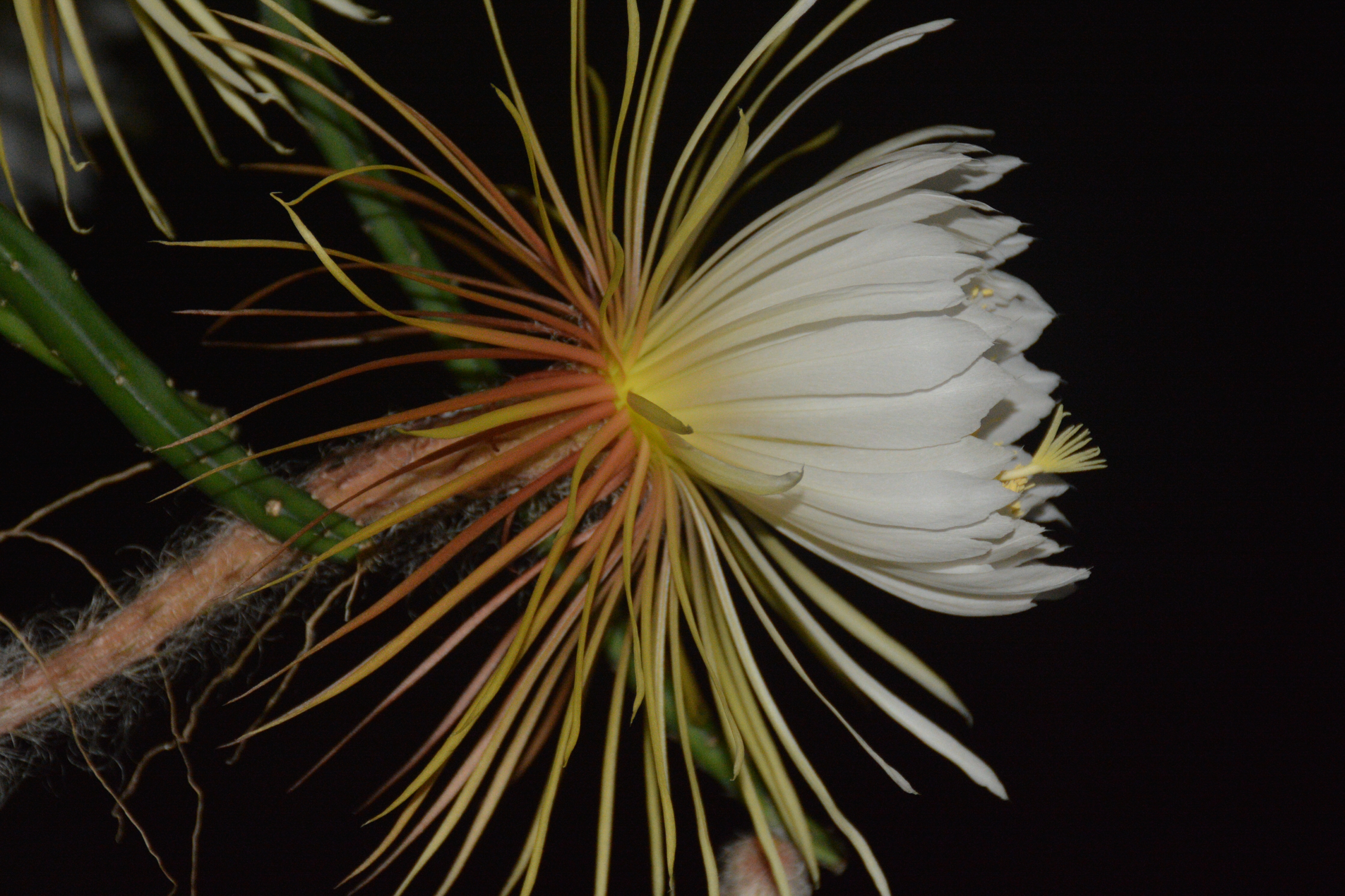 Pictures Of Night Blooming Cereus