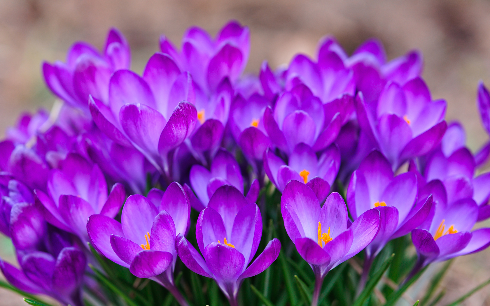 Pictures Of Saffron Crocus