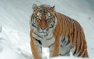Pictures Of Tiger