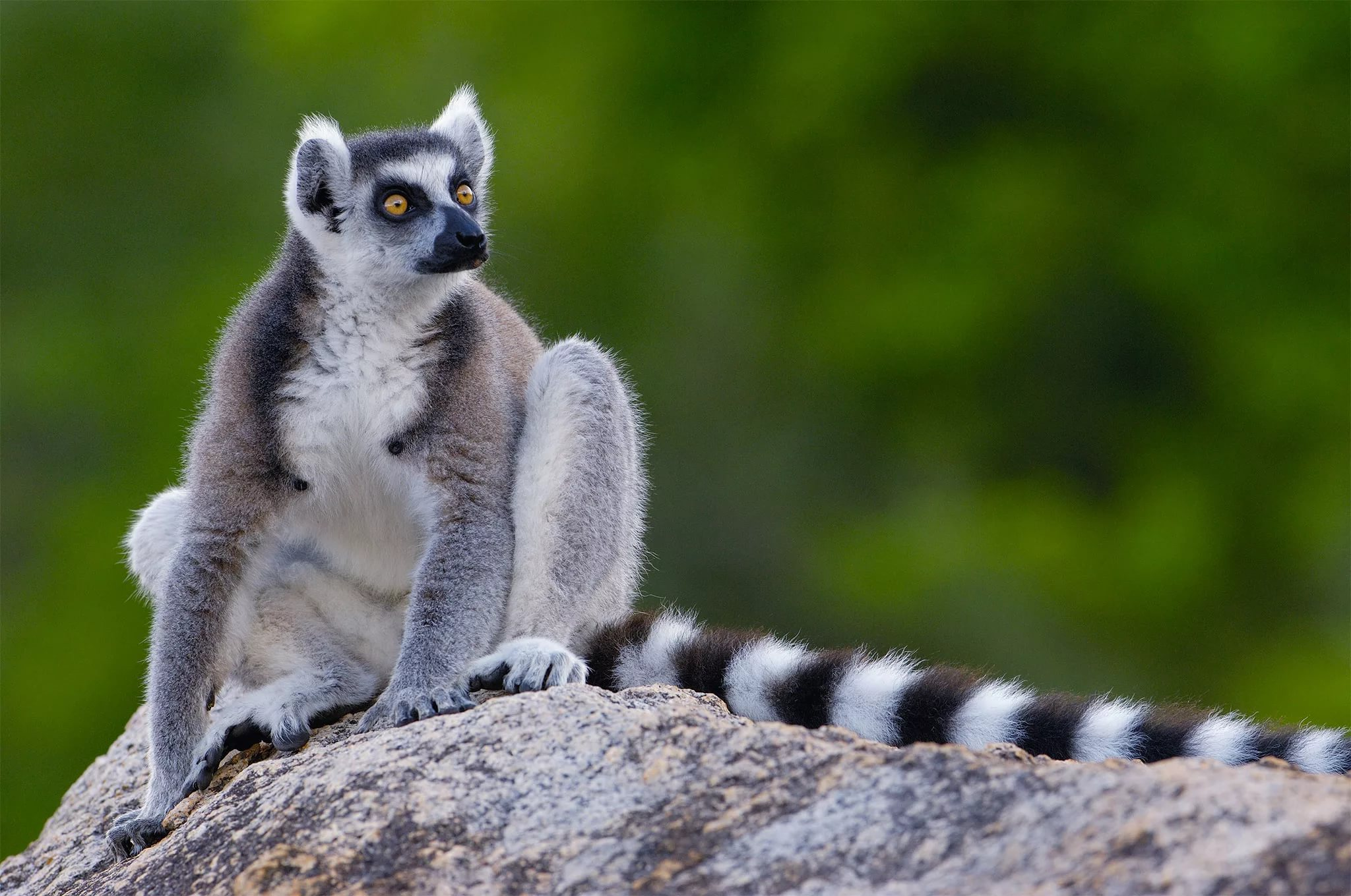 Pictures Of Lemur