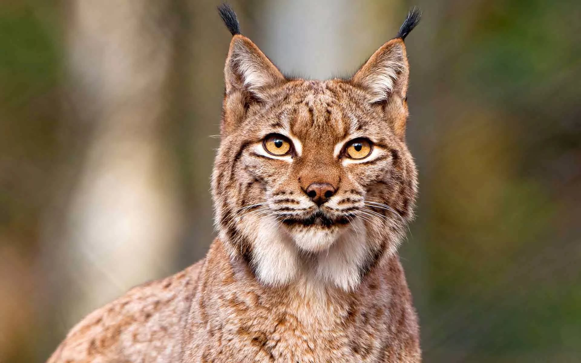 Pictures Of Lynx