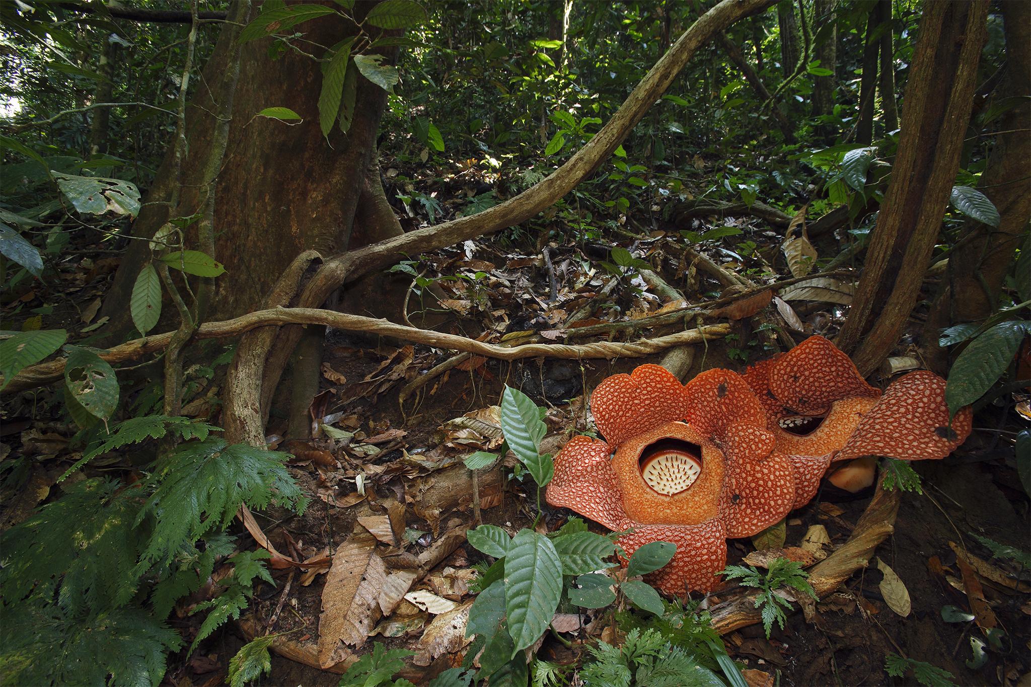 Rafflesia Arnold Images