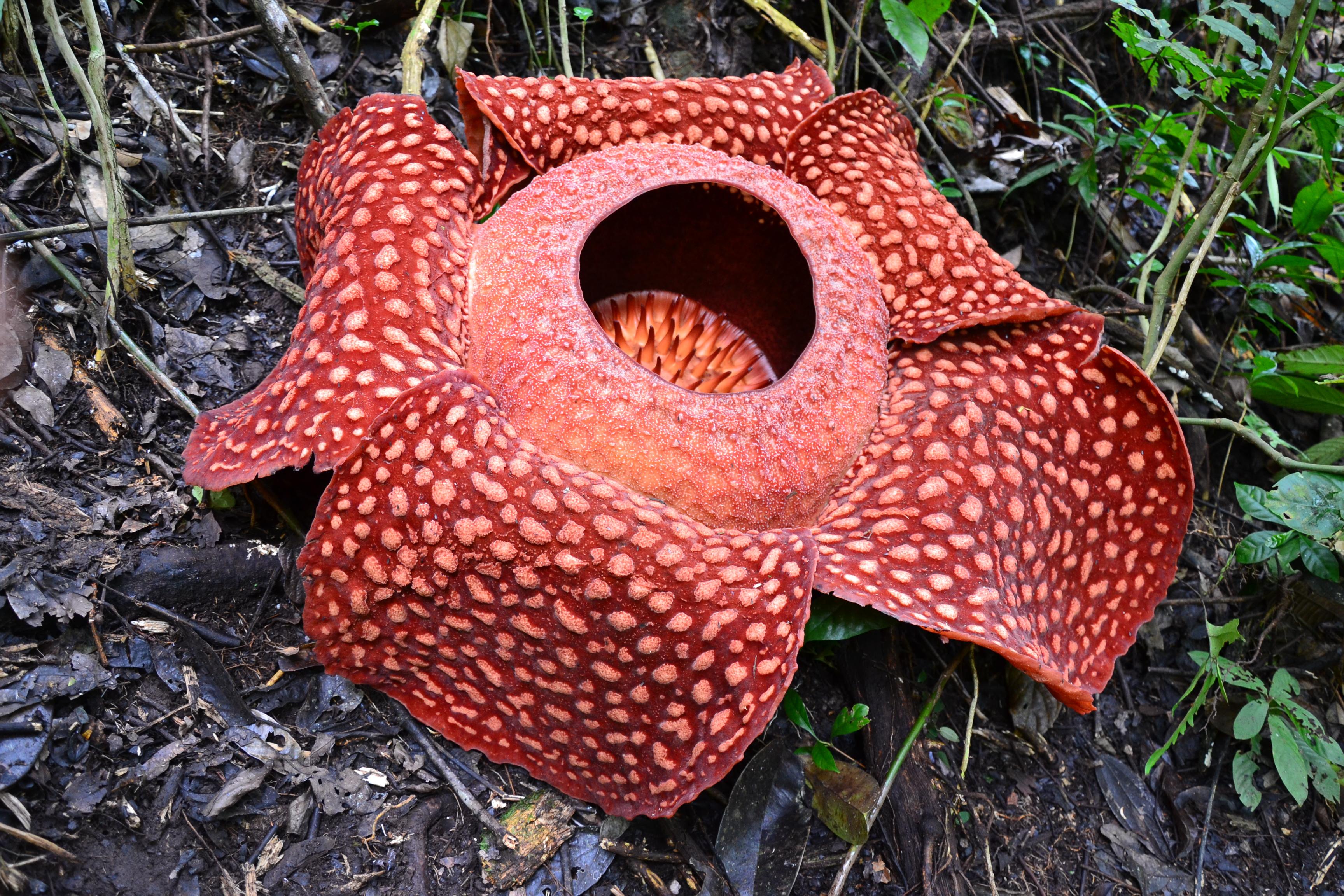 Rafflesia Arnold Wallpapers HD