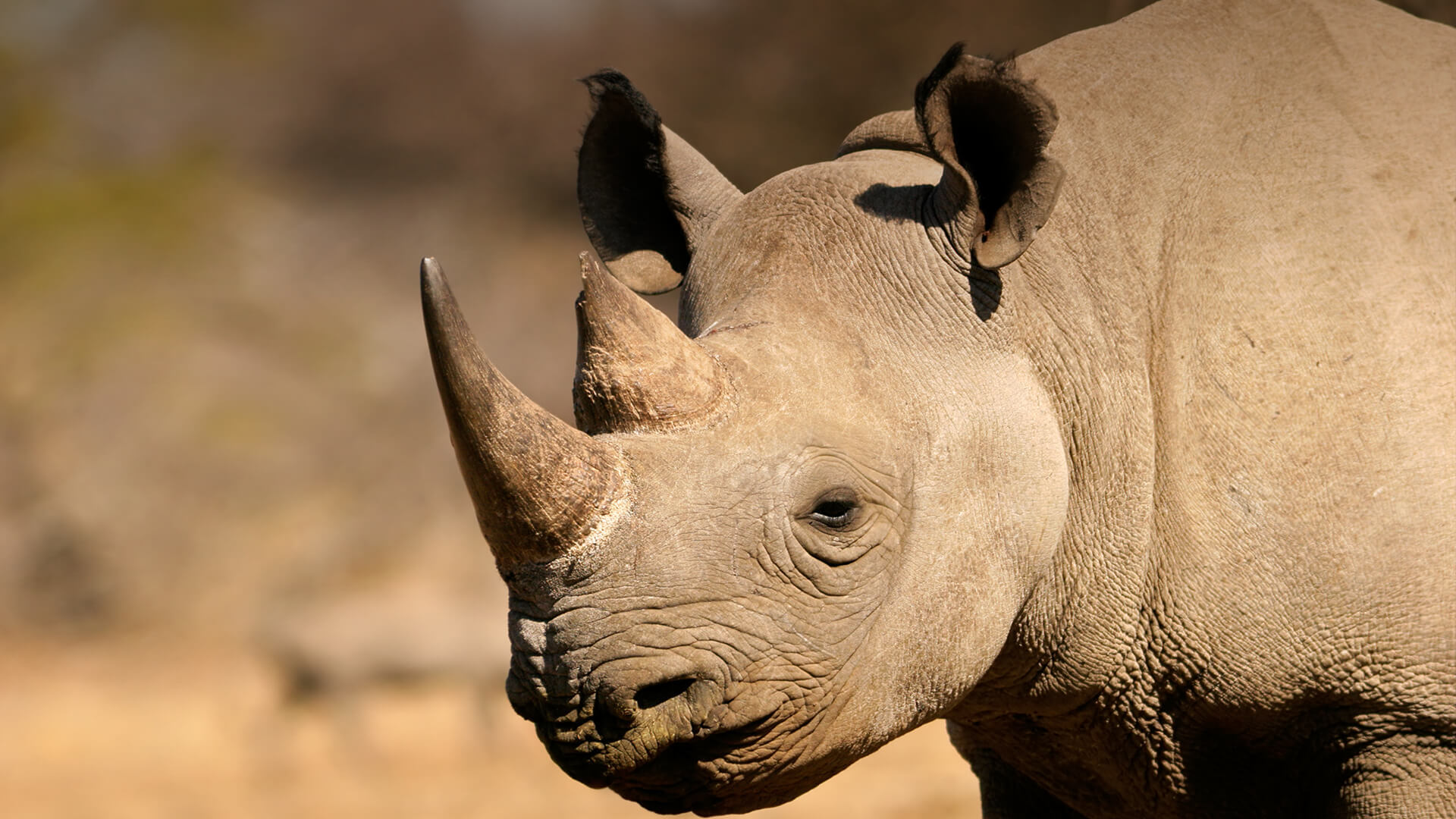 Rhinoceros Iphone Sexy Wallpapers