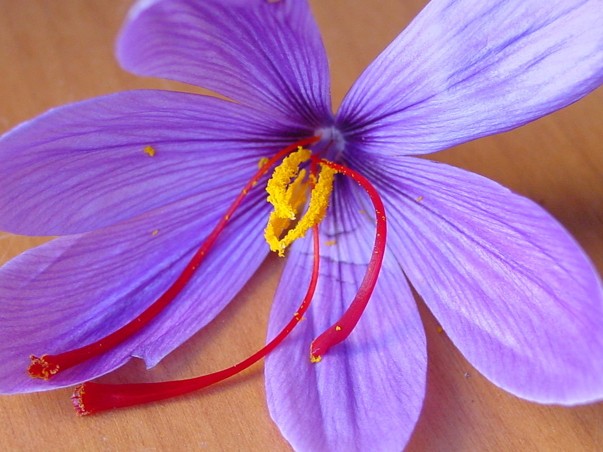Saffron Crocus Background