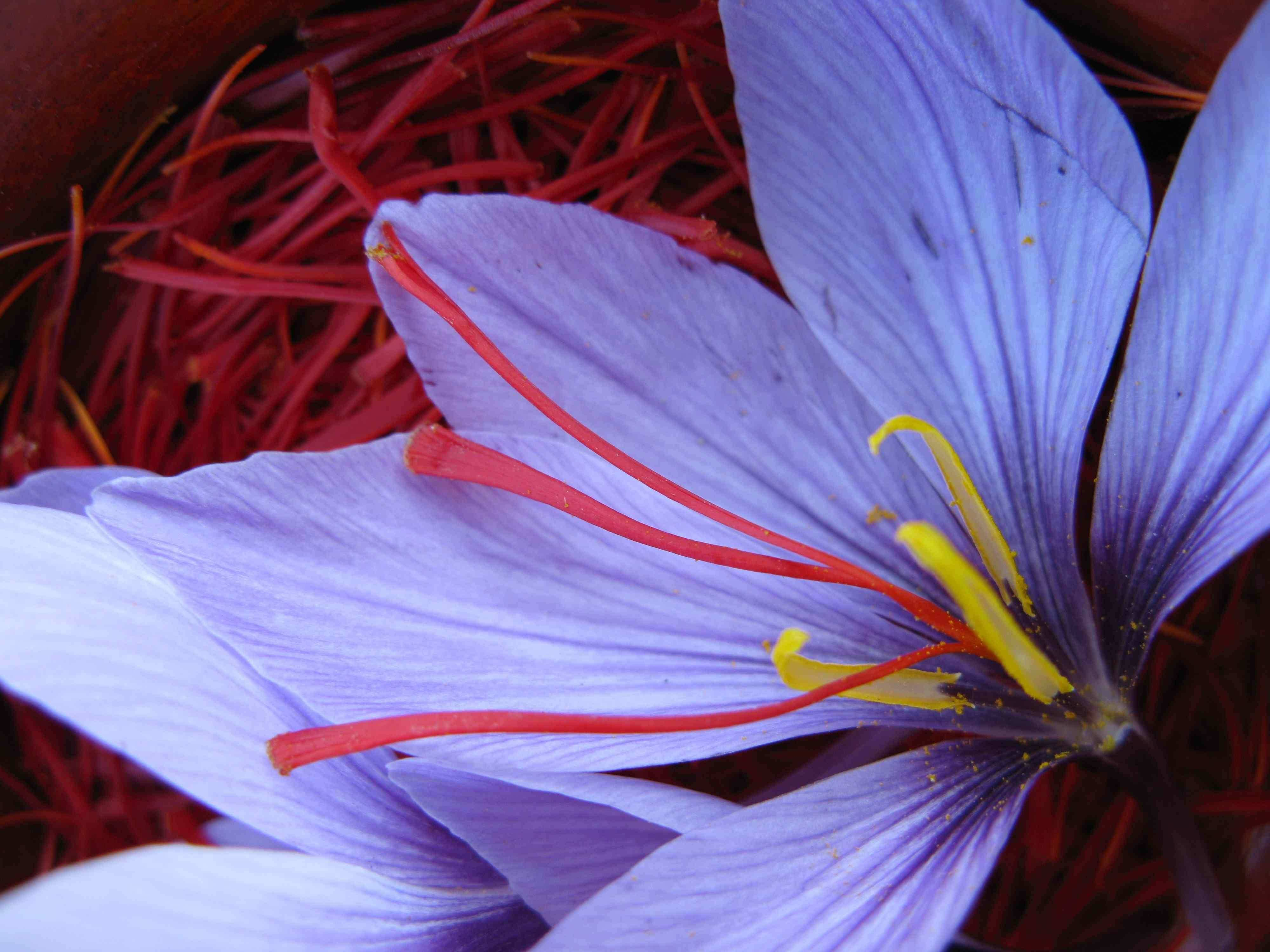 Saffron Crocus HD Wallpaper