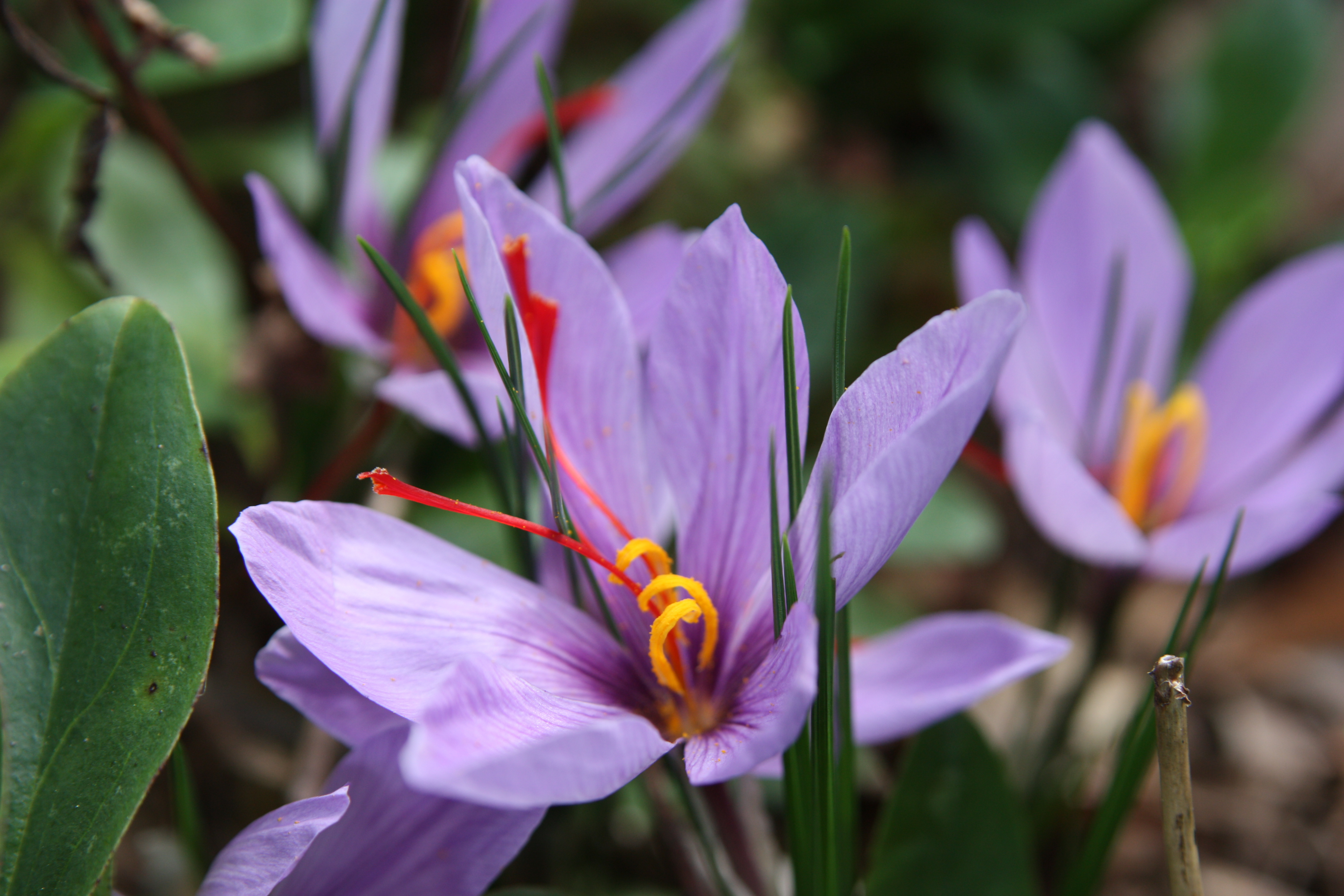 Saffron Crocus High Definition Wallpapers