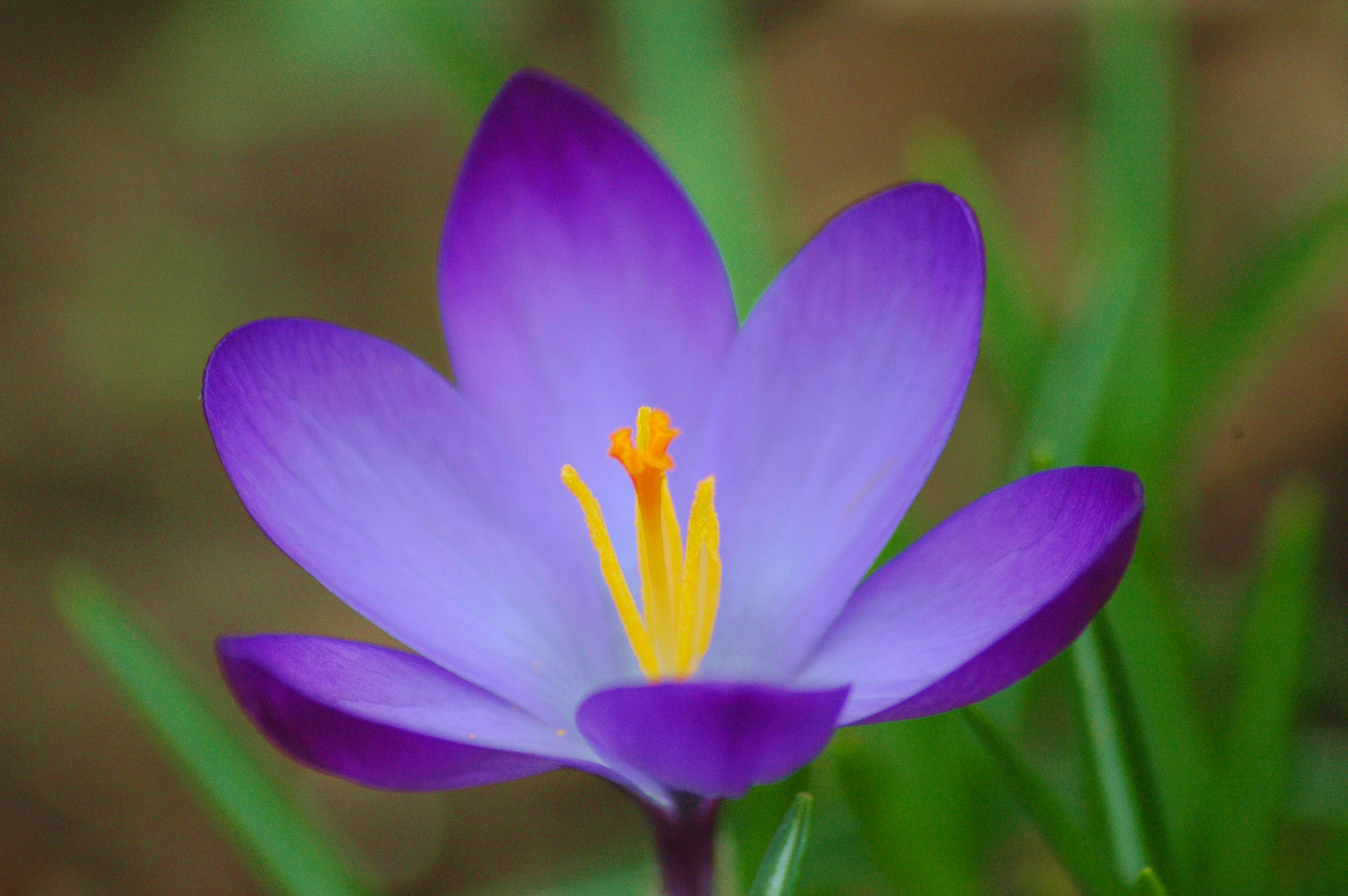 Saffron Crocus High Quality Wallpapers