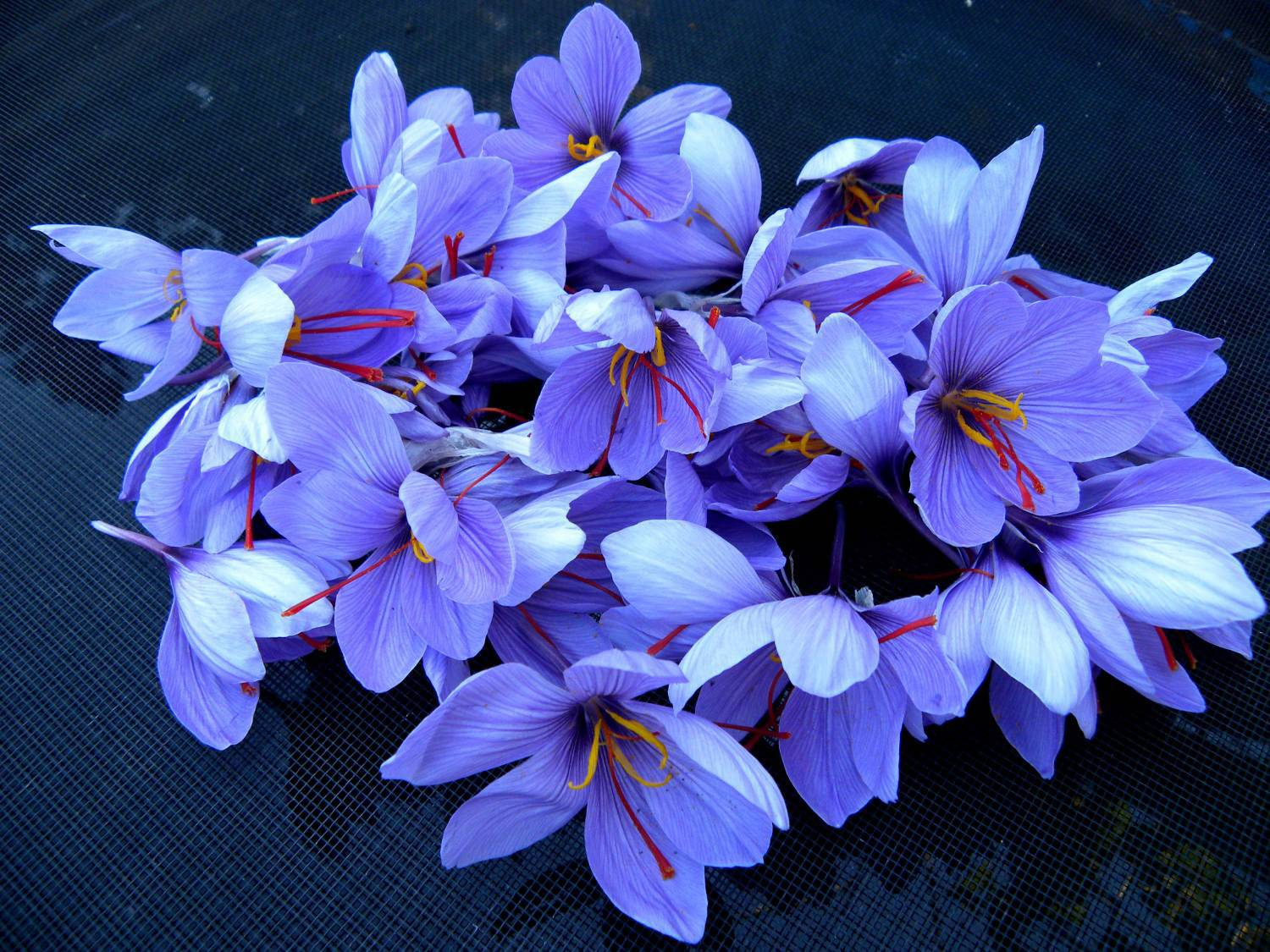 Saffron Crocus Photos