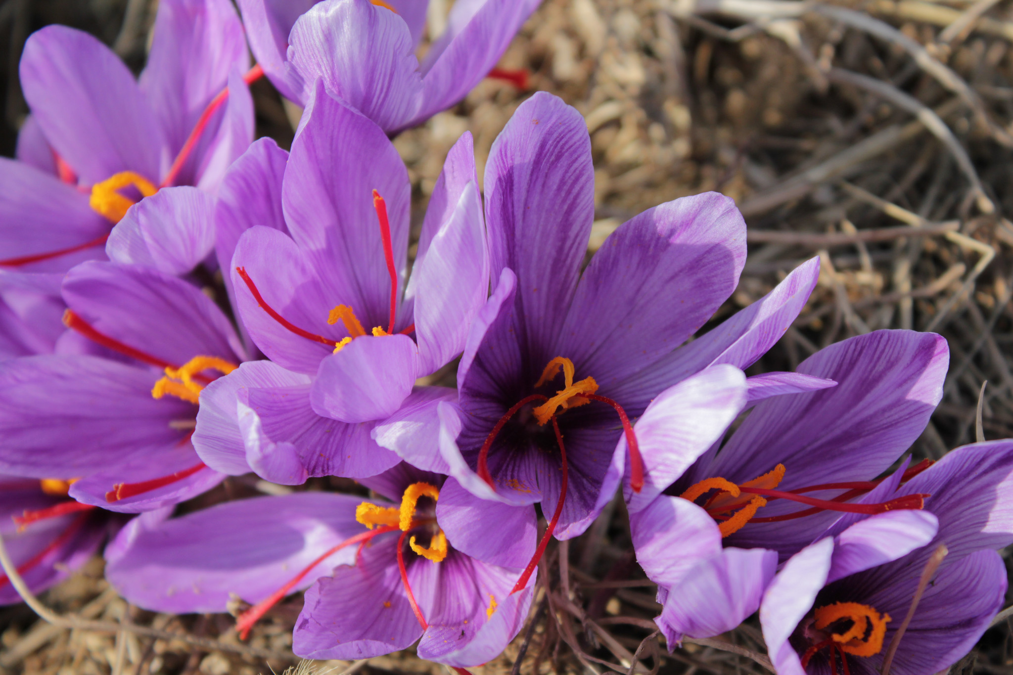 Saffron Crocus Wallpapers