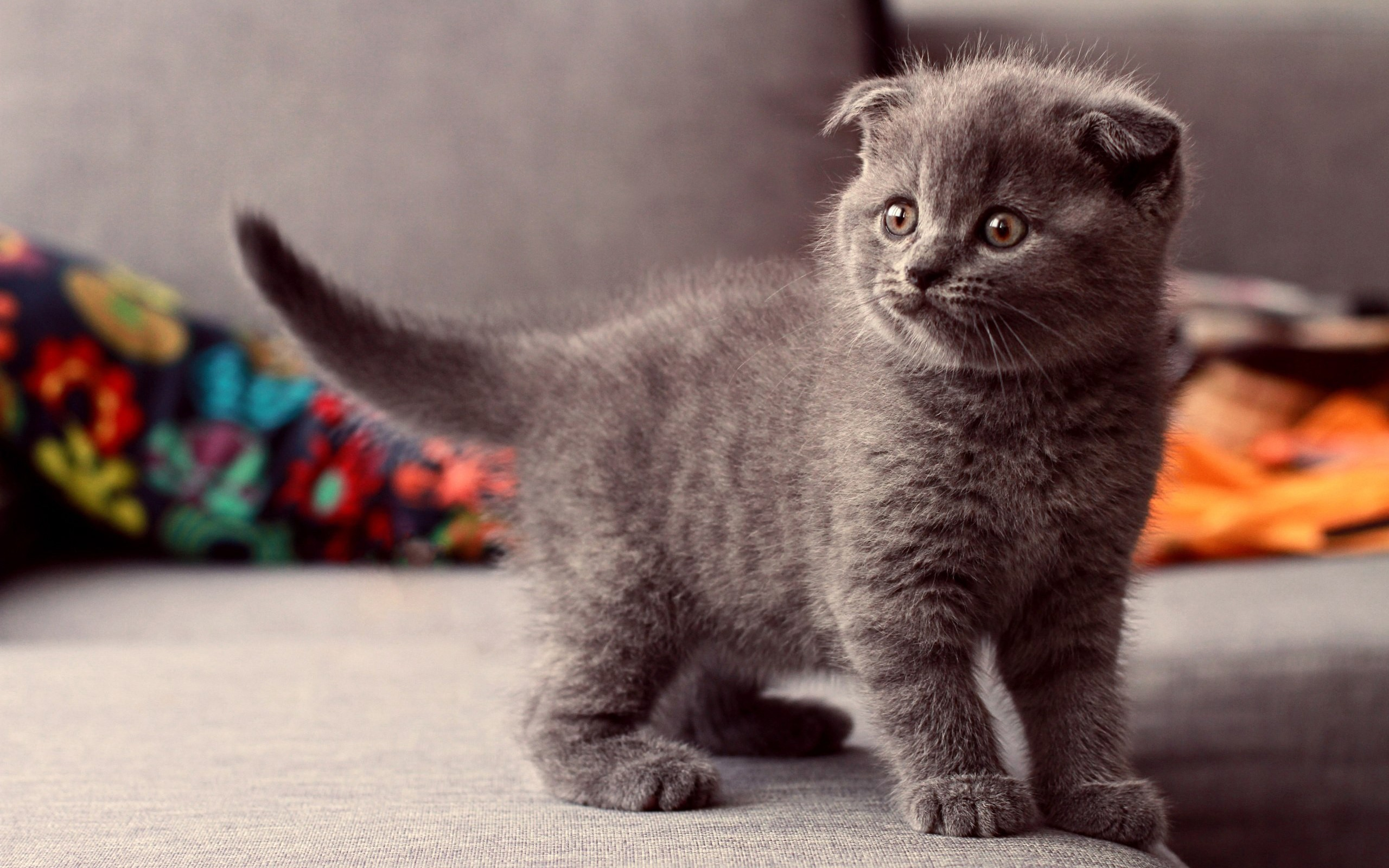 Scottish Fold Cat Wallpaper