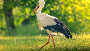 Stork Wallpapers