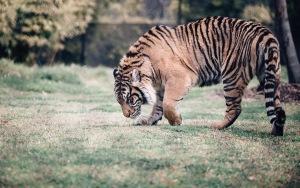 Tiger Background