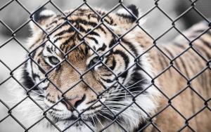 Tiger Desktop Images