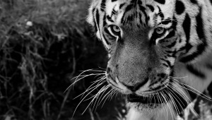 Tiger Desktop Wallpaper