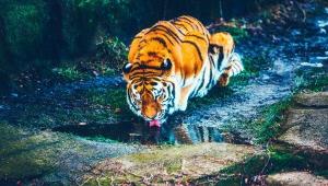 Tiger Download