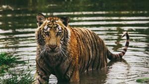 Tiger HD Background