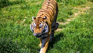 Tiger HD Desktop