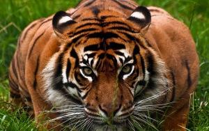 Tiger HD