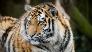 Tiger High Definition