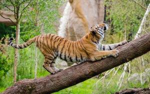 Tiger Photos