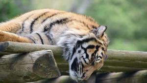Tiger Wallpaper For Laptop