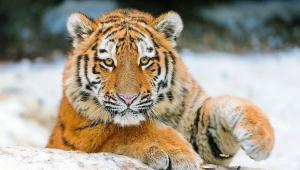 Tiger For Desktop Background