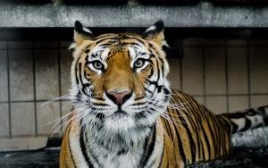 Tiger Full HD