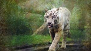 White Tiger HD Background