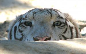 White Tiger HD Wallpaper