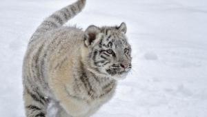 White Tiger For Desktop