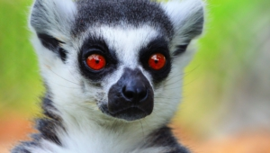 Lemur Photos