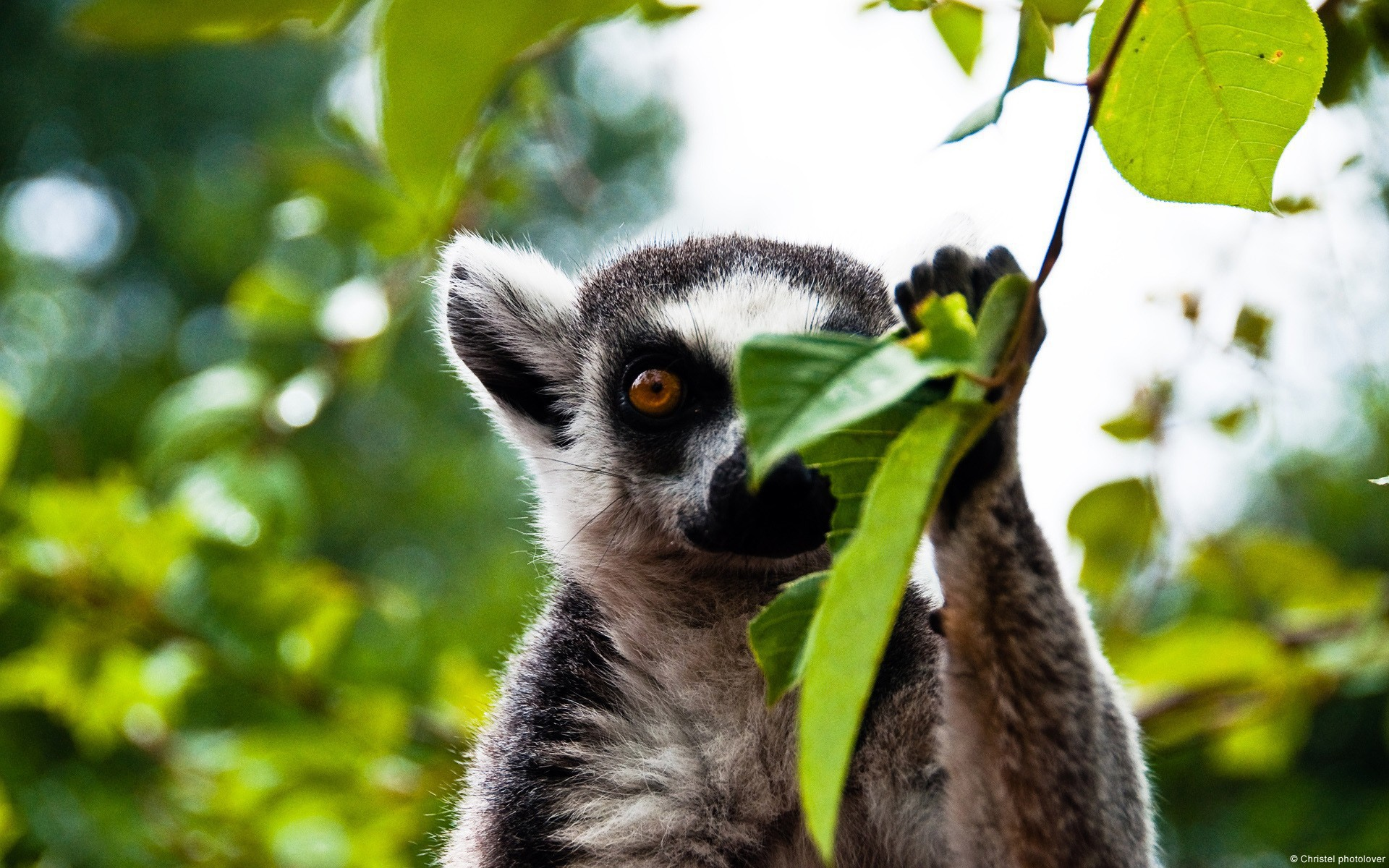 Lemur Wallpaper