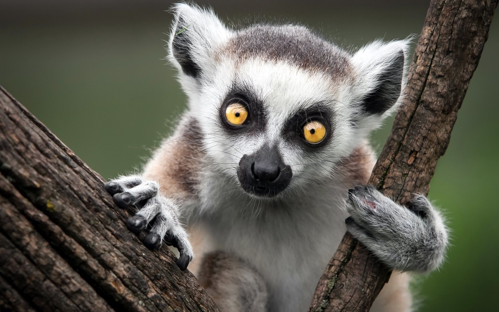 Lemur Widescreen