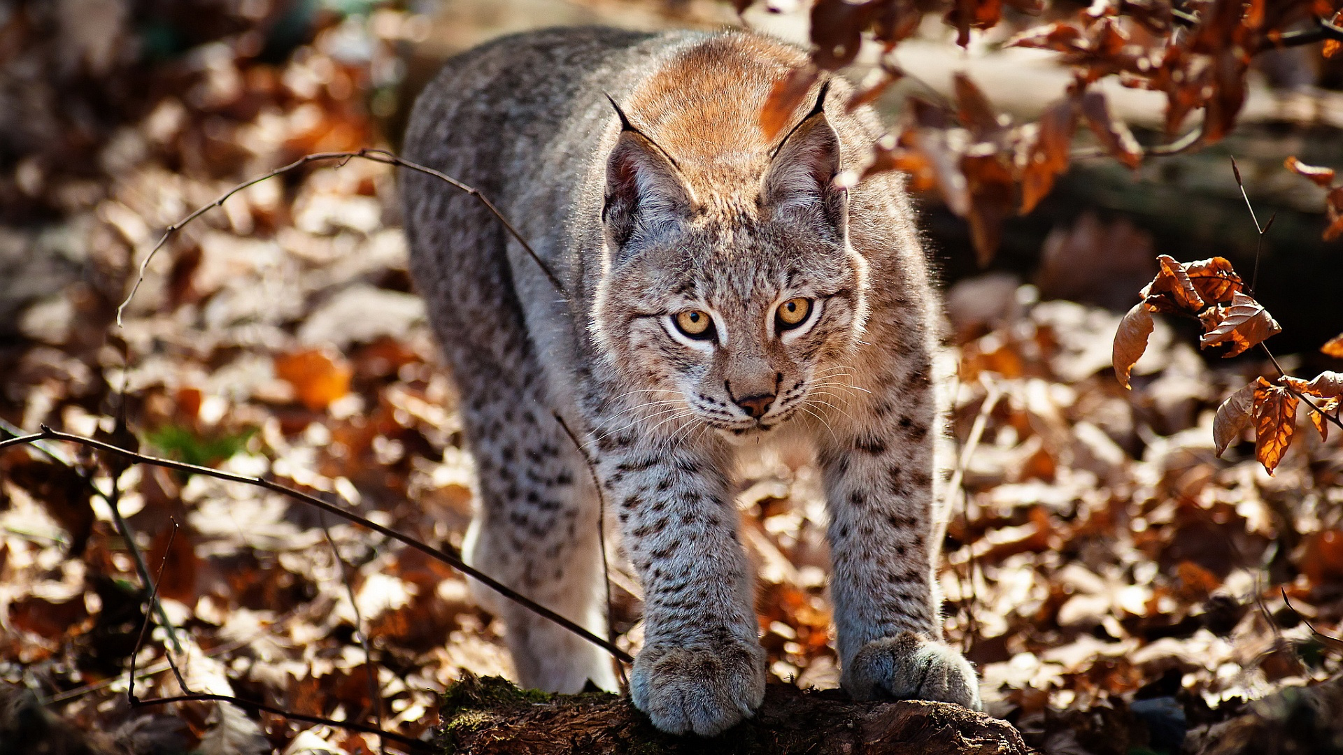 Lynx High Definition Wallpapers