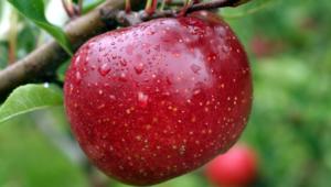 Apple Tree Images