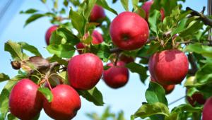 Apple Tree Photos