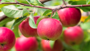 Apple Tree Pictures