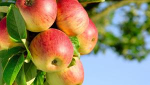 Apple Tree Wallpapers